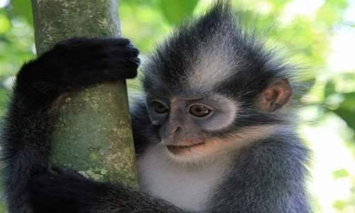 Zdjecie INDONEZJA / Sumatra / Dżungla / Thomas monkey