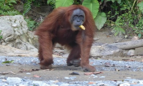 Zdjecie INDONEZJA / Sumatra / Bukit Lawang / Orangutan
