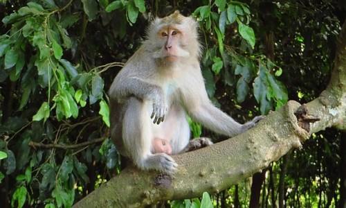 Zdjecie INDONEZJA / Bali / gdzieś na wyspie / Święty Las Małp