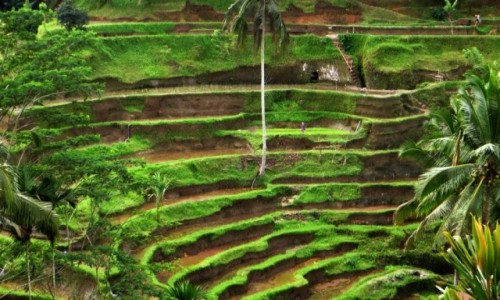 Zdjęcie INDONEZJA / Bali / Ubud / pola ryżowe