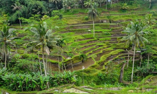 Zdjecie INDONEZJA / Bali / Tegallalang / Tarasy ryżowe