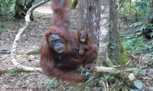 Zdjecie INDONEZJA / Borneo / Borneo / Rodzina orangutanów