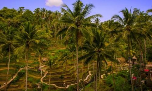 Zdjęcie INDONEZJA / Bali / Tegalalang Rice Terrace / Tarasy Ryżowe