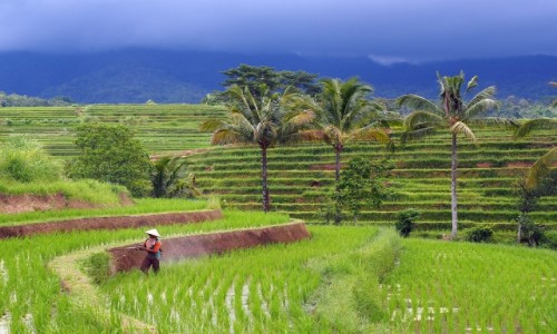 INDONEZJA / Bali / Jatiluwih / Pola ryżowe