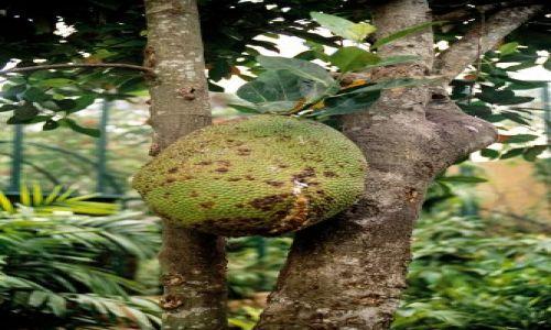 Zdjecie INDONEZJA / Bali / sanur / smaczny owoc