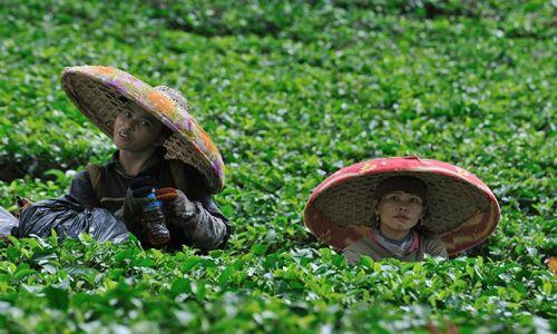 Zdjecie INDONEZJA / Jawa / przełęcz Puncak / zbieraczki herbaty