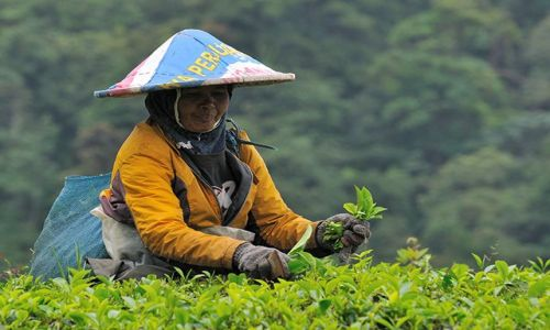 Zdjecie INDONEZJA / Jawa / przełęcz Puncak / zbieraczka herbaty