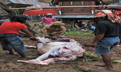 Zdjecie INDONEZJA / Sulawesi / Tana Toraja / Odarty ze skóry bawół
