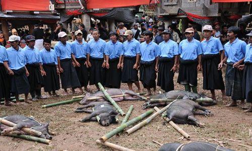 Zdjecie INDONEZJA / Sulawesi / Tana Toraja / Rytualny śpiew nad przygotowanymi do zabicia świniami