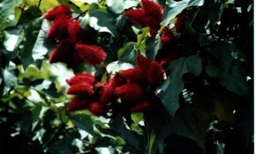 Zdjęcie INDONEZJA /  West Papua / Sorong / Tropilalna roślinność- kto ją zna?