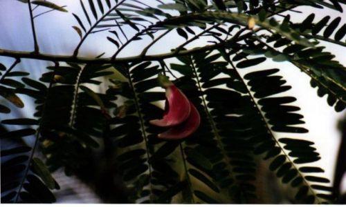Zdjęcie INDONEZJA /  West Papua / Cabare / Gwinejska akacja