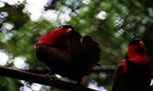 Zdjęcie INDONEZJA /  West Papua / Biak / Tancerki