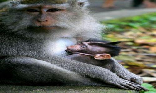 Zdjecie INDONEZJA / Ubud / monkey forest / malpia mama