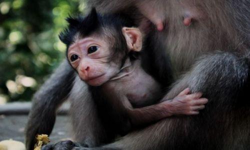 INDONEZJA / Bali / Monkey forest,Ubud / malpi wdziek..