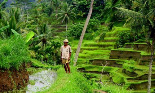 Zdjecie INDONEZJA / Indonezja / BALI / Tarasy ryżowe-wieśniak z sierpem