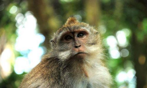 Zdjecie INDONEZJA / Bali / Ubud / Poprostu małpka