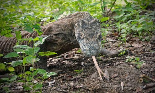 INDONEZJA / Park Narodowy Komodo / Rinca / Komodo 3