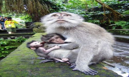 Zdjęcie INDONEZJA / Ubud / Bali / Monkey Forest