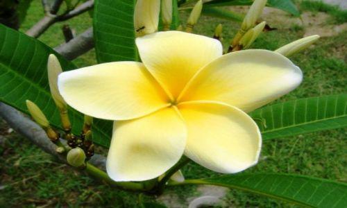 Zdjecie INDONEZJA / Uluwatu / Bali / kwiat Plumerii