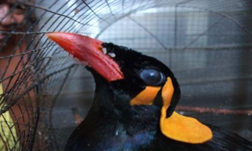 Zdjęcie INDONEZJA / Timor Zachodni / Kupang / ... gadający ptak i jego właściciel...