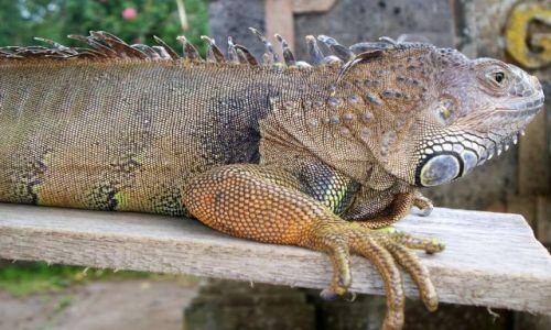 Zdjecie INDONEZJA / Bali / Jezioro Bratan / Waran