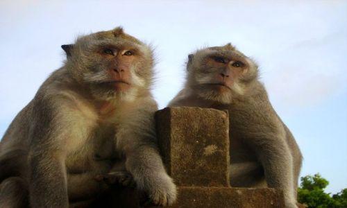 Zdjecie INDONEZJA / Bali / światynia  Pura Luhur Ulu Watu / makaki ze świątyni Ulu Watu