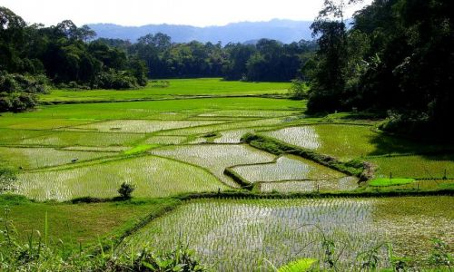 INDONEZJA / Sulawesi Południowe / Lemo - kraina Toradjów / pola ryżowe w pobliżu Lemo