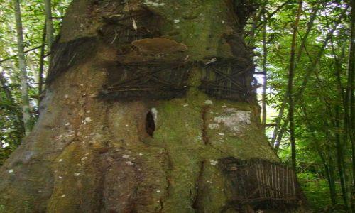 INDONEZJA / Sulawesi Południowe / Kambira / drzewo-grobowiec -II