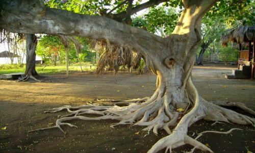 Zdjecie INDONEZJA / Gili Air / wysepka Gili Air / tajemnicze drzewo dla Sybilli1