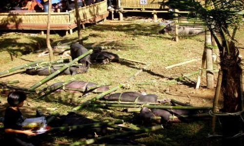 INDONEZJA / Południowe Sulawesi / okolice Rantepao /  w prezencie na ceremonię pogrzebową- żywe!