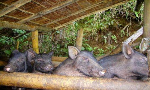 Zdjecie INDONEZJA / Sulawesi Południowe / okolice Rantepao / urocze świnki trzy, nie cztery ...