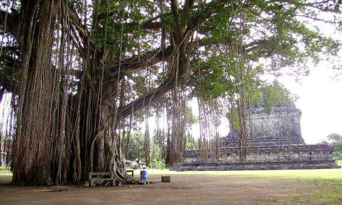 INDONEZJA / Jawa / po drodze do światyni Borobudur / stare drzewo