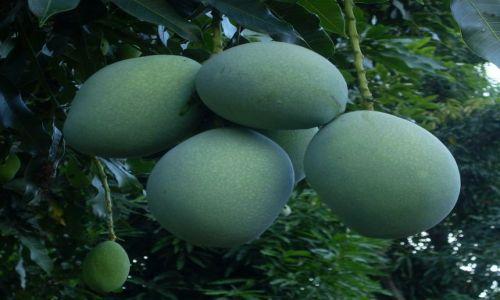 Zdjęcie INDONEZJA / Małe Wyspy Sundajskie (Nusa Tengara) / Lombok / ... mango... prosto z drzewa ...