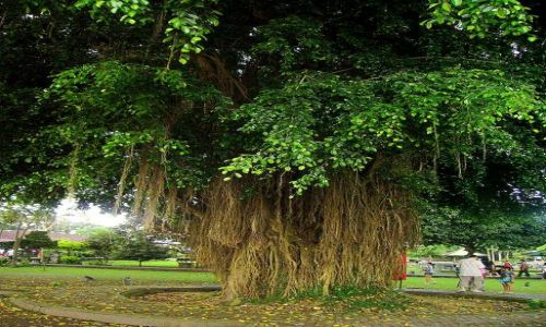 Zdjecie INDONEZJA / Bali / Bali - Alas Kedaton / ciekawe drzewo - korzenie rosną od góry do dołu