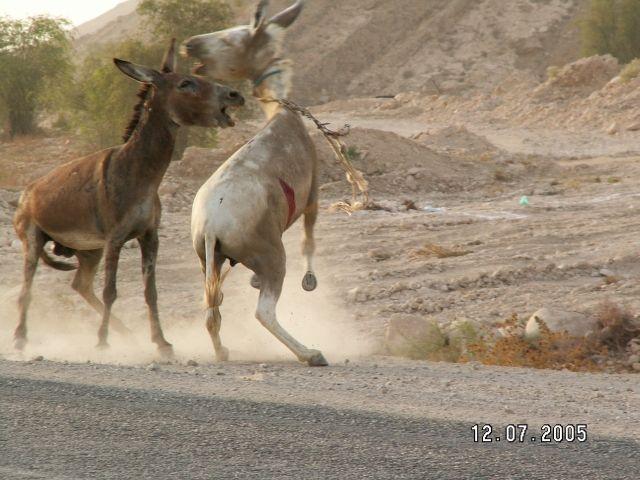 Zdjęcia: Bandar E Abbas, Osły to mają temperament, IRAN