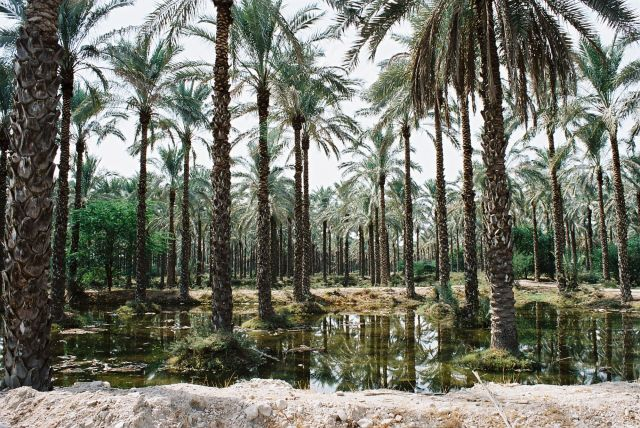 Zdjęcia: Poludniowo-zachodni Iran, GAJ PALMOWY, IRAN