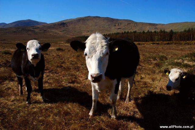 Zdj�cia: P�wysep Iveragh, Kerry, Kr�wki na P�wyspie Iveragh, IRLANDIA