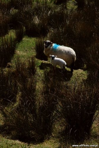 Zdjęcia: Dublin, Kerry, Sheep of Kerry Peninsula, IRLANDIA