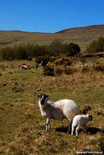 Zdjęcia: Dublin, Kerry, Sheep of Kerry Peninsula, IRLANDIA