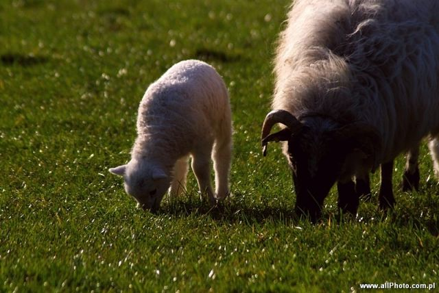Zdjęcia: Dublin, Kerry, Sheep of Dingle Peninsula, IRLANDIA