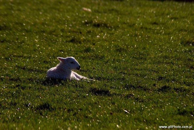 Zdjęcia: Dublin, Kerry, Sheep of Dingle Peninsula, IRLANDIA