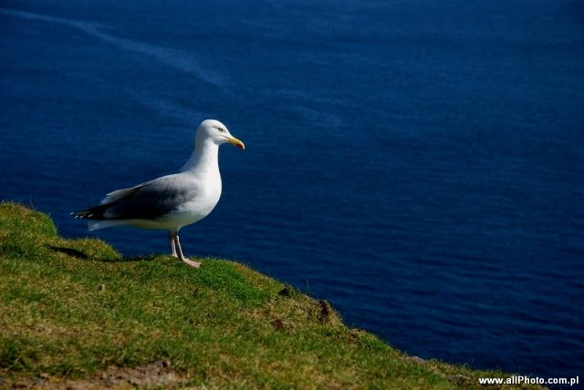 Zdjęcia: Dublin, Kerry, Birds of Dingle Peninsula, IRLANDIA
