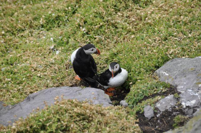 Zdjęcia: Great Skellig, Maskonur, IRLANDIA