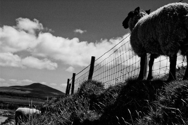 Zdjęcia: Irlandia, okolice Inch, a sheep, IRLANDIA