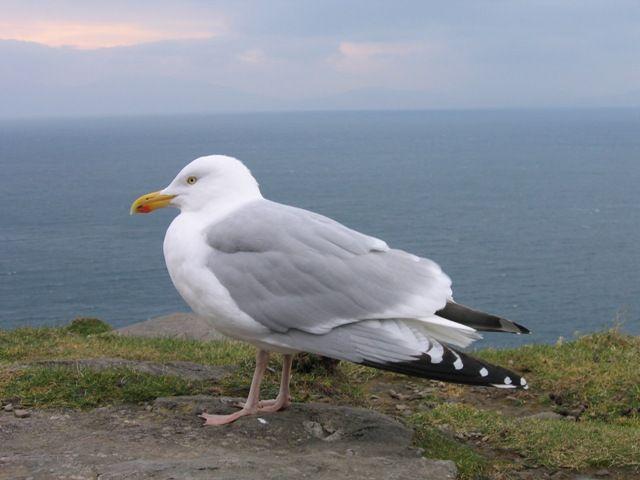 Zdjęcia: gdzies na poludniowym wybrzezu, mewa?, IRLANDIA