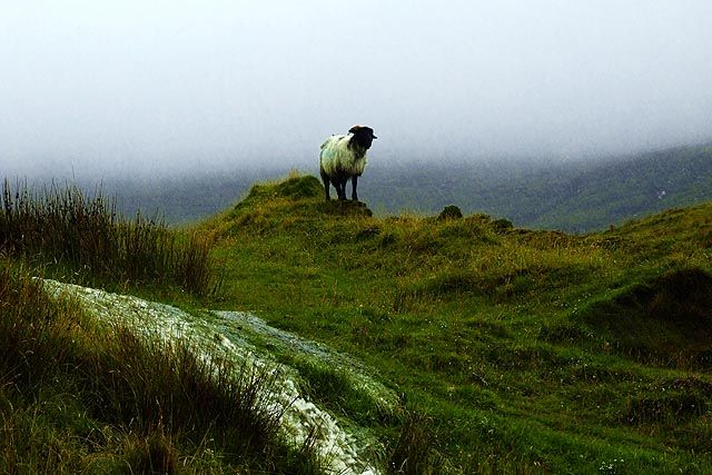 Zdj�cia: co. Mayo, z serii samotna owca w typowy, deszczowy dzie�, IRLANDIA