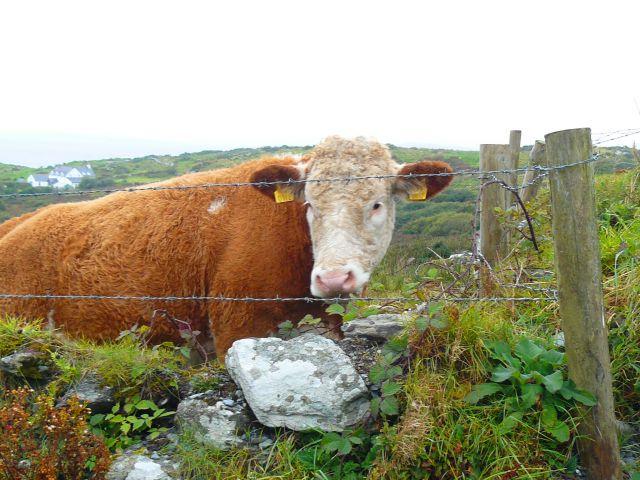 Zdjęcia: kenmare, irlandia, krówka, IRLANDIA