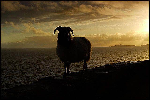 Zdjęcia: Slea Head Drive, Dingle, owca wieczorową porą, IRLANDIA