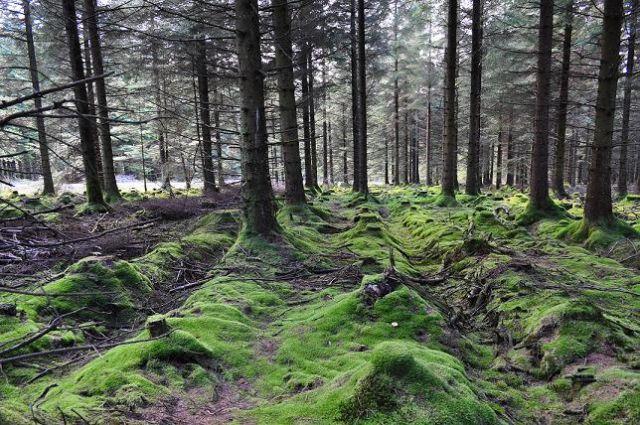Zdjęcia: Góry Wicklow, W lesie, IRLANDIA