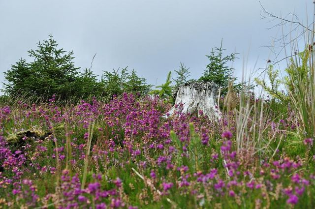 Zdjęcia: W górach Wicklow, Wrzosy, IRLANDIA